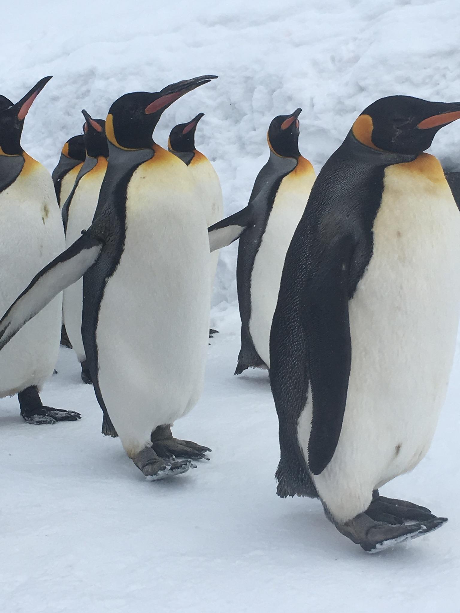 旭山動物園のペンギン多数