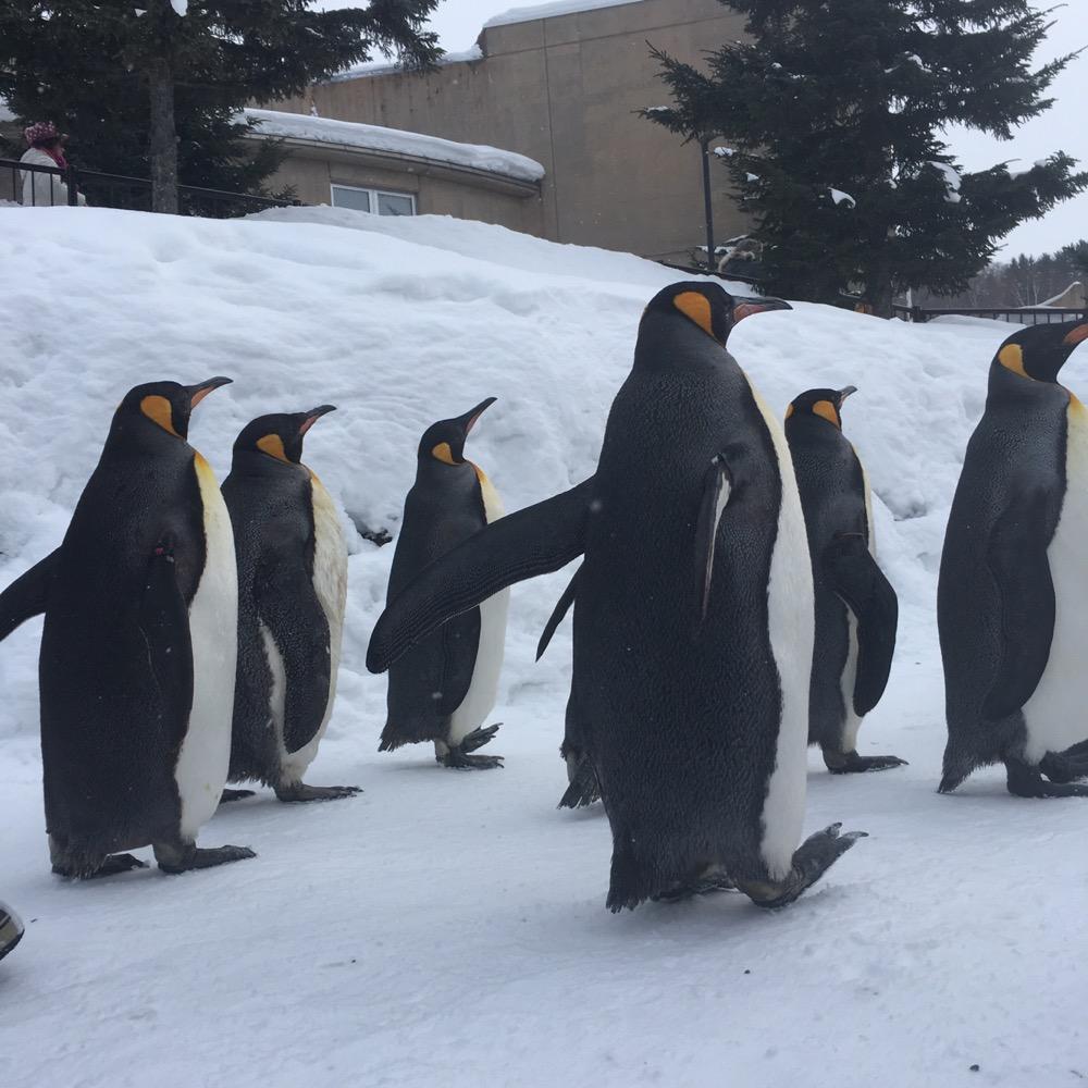 旭山動物園のペンギンの行列