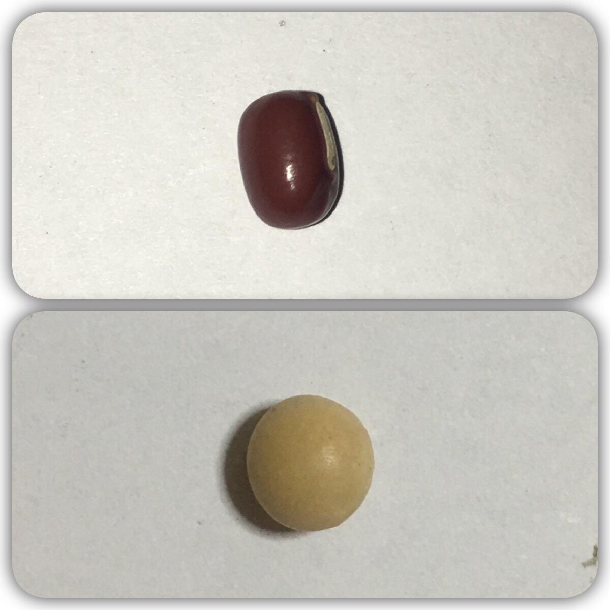 小豆と黄大豆