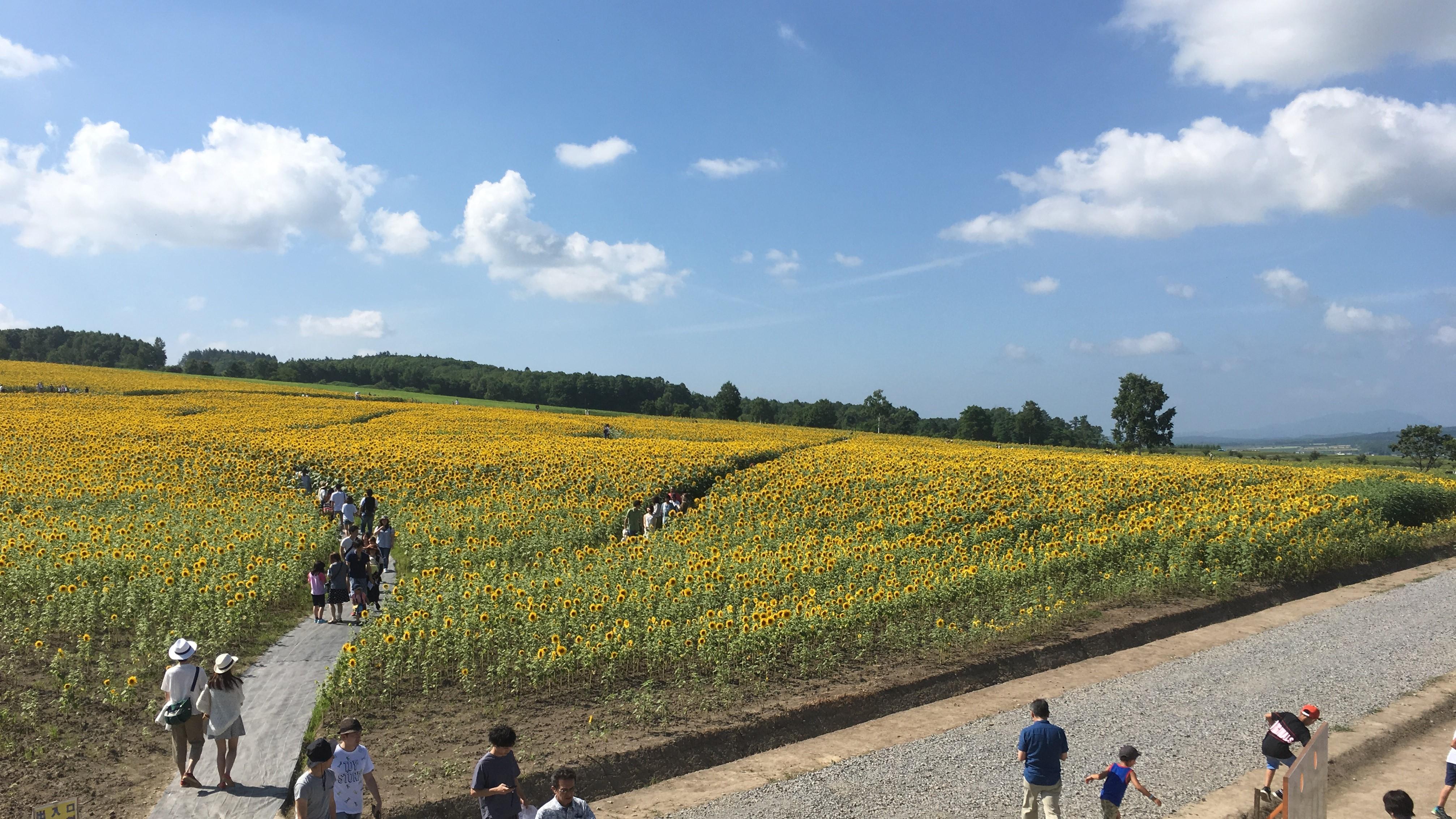 北竜町ひまわりの里のひまわり畑