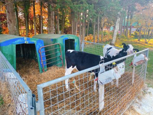 牛小屋のアイスの子牛